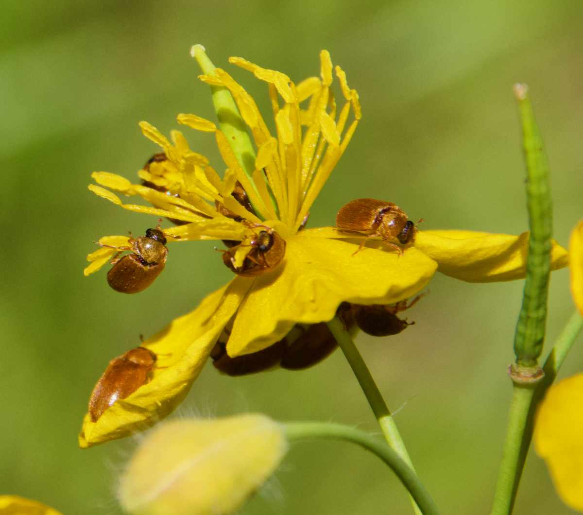 Käfer, Blüte, Natur beobachten